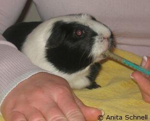 babymeerschweinchen gewichtszunahme pro tag