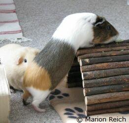 mensch meerschweinchen spiel spa f r meerschweinchen. Black Bedroom Furniture Sets. Home Design Ideas